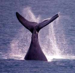 Wilma the Whale off Warranmabool