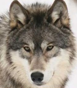 The Wolf is associated with Mars