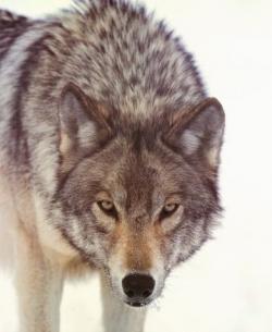 Fenrir, the Wolf