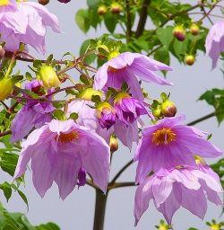 Tree Dahlias, June 2010