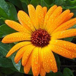 I just love calendula for its sunny golden beauty.