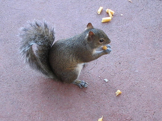 Squirrel munching on french fries.