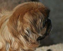 Pekingese's mane