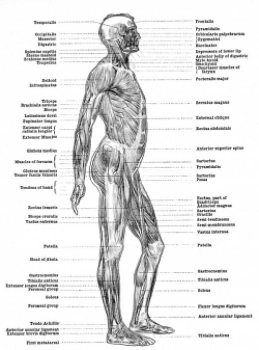 Human muscular system side view.