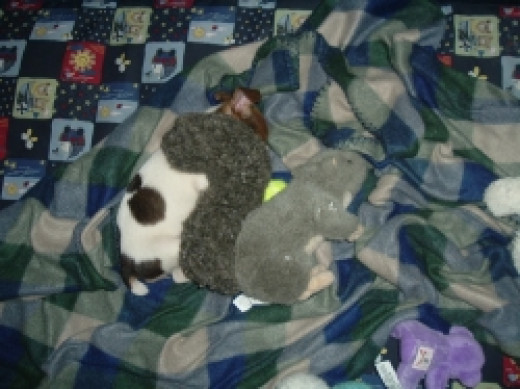 Young pup sleeping with her squirrel toy.