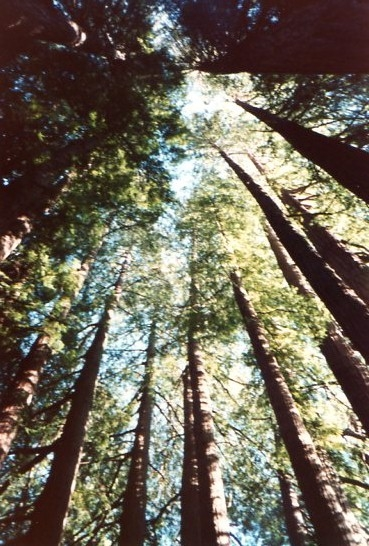 Ancient redwood trees reaching for the sky