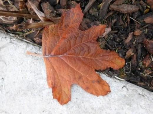 A hydrangea leaf fallen off the branch