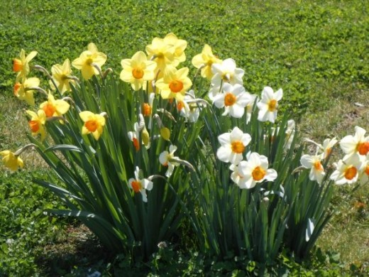The neighbor's daffodils blooming