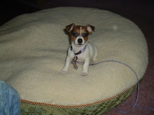 Misha playing on the big dog bed, 4 pounds and 3 months old