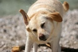 ear mites in dogs