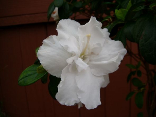 An Azalea bloom