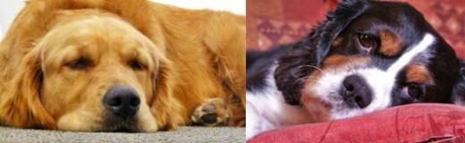 Bored half asleep dogs