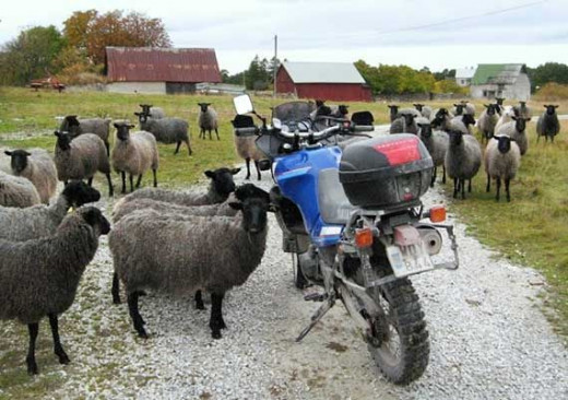 Sheep and motorcycle on gotland
