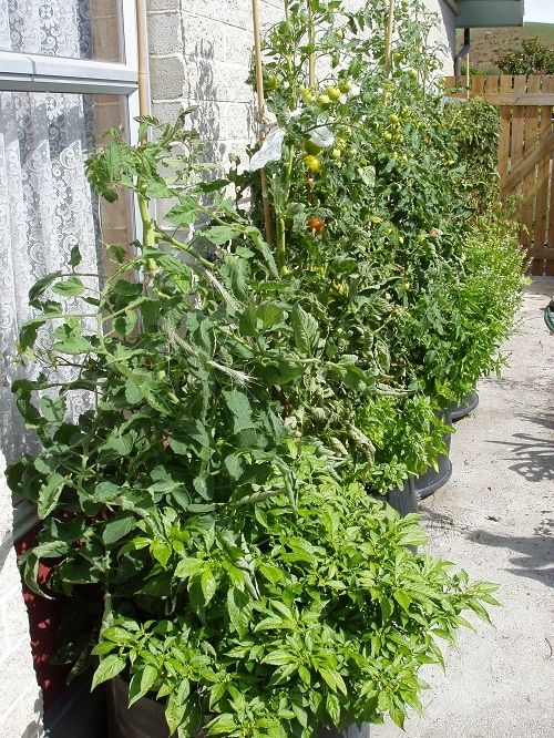 We also grew a few cucumbers and chillies against the wall which we could not grow before.