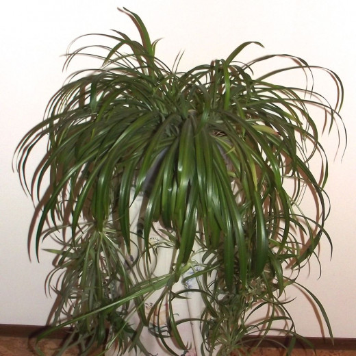 One of my many spider plants.