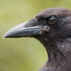Smartest Animals: The Amazing Crow