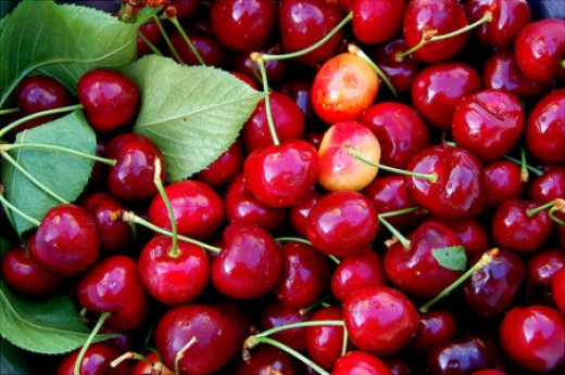 U-pick Cherries
