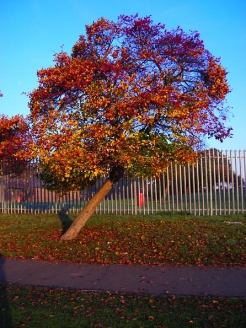 Autumn Tree in Durnsford Park 19 October 2007