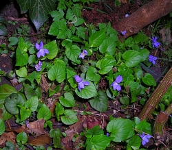purple violets or viola