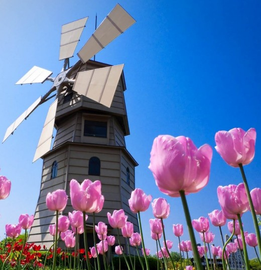 Dutch icons: tulips and windmills
