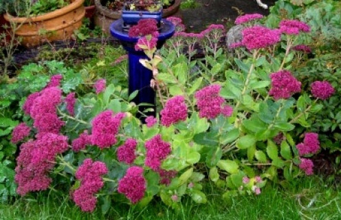 Sedum or Ice Plant