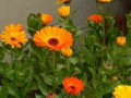Herbs: Marigold | Growing and Using Marigolds