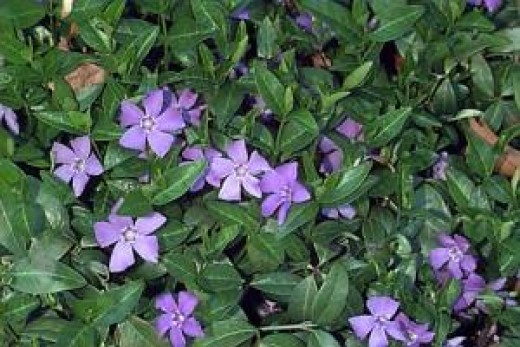 Vinca makes good ground cover, and even grows under trees
