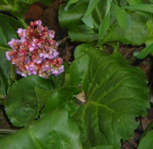 Bergenia grows well in shade.