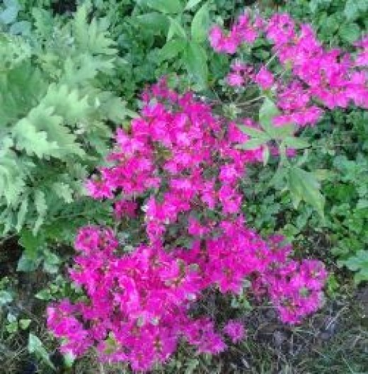 Azalea shade tolerant  plant flowering in spring