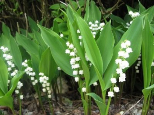 Poisonous Plants: Lily of the Valley, Poison Ivy and ... Lily Poison