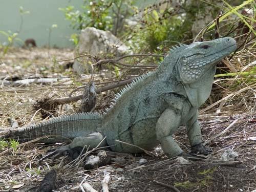 Grand Cayman Blue Iguana.  Photo by Frederic J. Burton (cc)