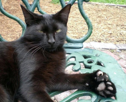 This black polydactyl cat seems to be daring you to say something about his extra toes in this photo by Averette at en.wikipedia
