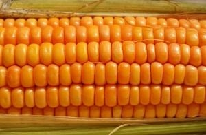 summer cooking corn on the cob