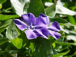 Vinca major (periwinkle), a poisonous plant. It looks like Vinca minor, but has larger leaves and flowers