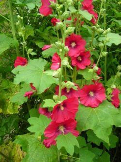 Bright Red Hollyhocks