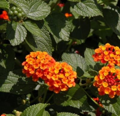 poisonous plant lantana