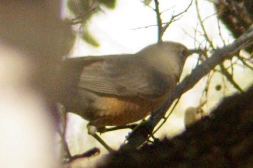 Female American Robin. Near the water tank.