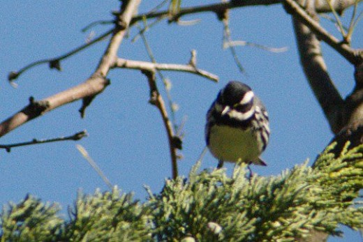 Black-throated Gray Warbler. A life bird. It didn't stick around very long.