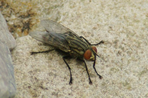 House fly. A cooperative little fellow.