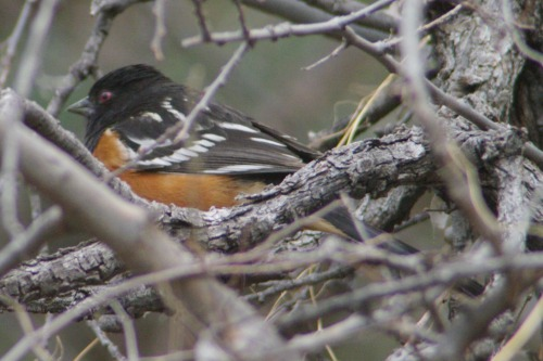 Spotted Towhee. You might say this was my LAST nemesis bird. They're beautiful!