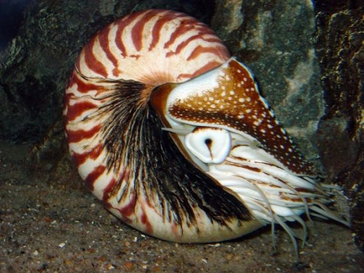 A chambered Nautilus in the Berlin Zoo Aquarium