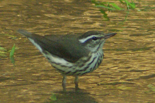 Success! There it is! Louisiana Waterthrush!