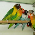 Pictures of Lovebirds and Love Bird Gifts