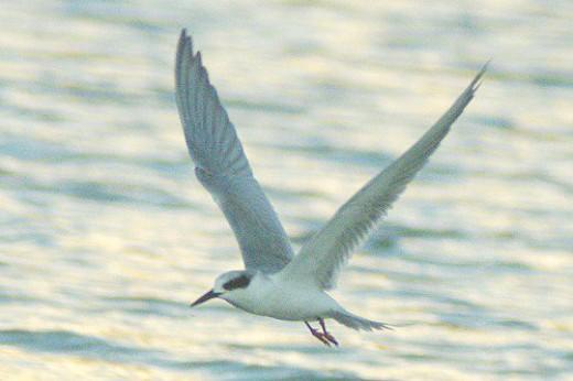Forster's Tern in flight.