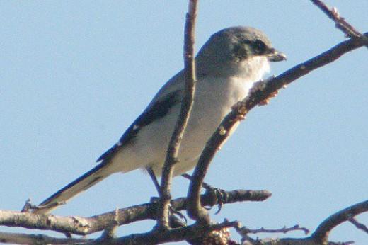 Loggerhead Shrike.