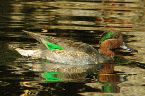 Green-winged Teal. Male.