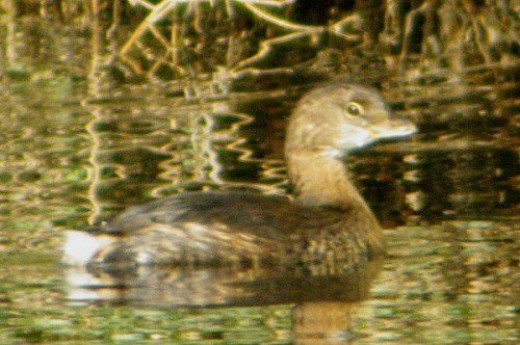 Pied-billed Grebe. This cute little fellow is said to be aggressive. He's usually alone.