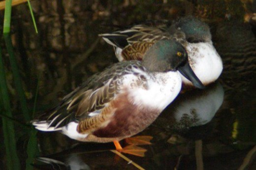 Northern Shovelers. Males.