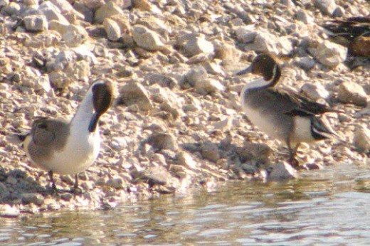 Northern Pintails. Males.