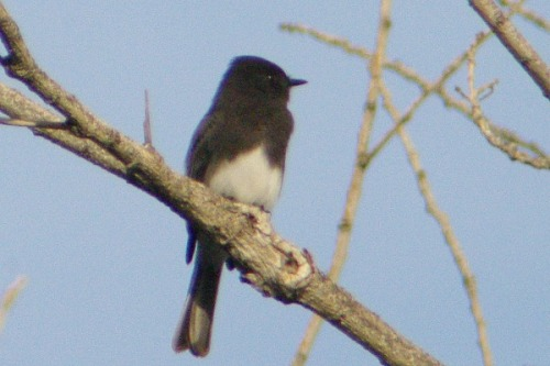 Black Phoebe. They like insects, and will grab them mid-air like a warbler. In my opinion, they ARE warblers.